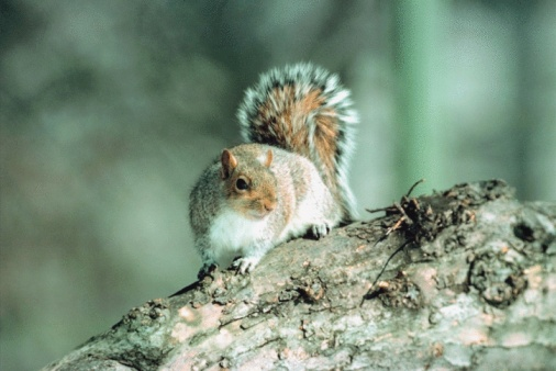 Gray Squirrel「Eastern gray squirrel」:スマホ壁紙(8)