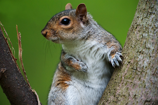 Gray Squirrel「Eastern gray squirrel」:スマホ壁紙(3)