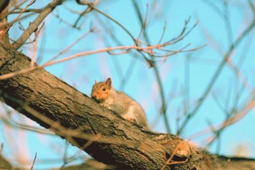 Gray Squirrel「Eastern gray squirrel」:スマホ壁紙(8)
