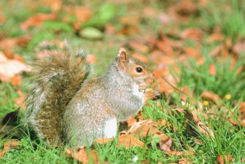 Gray Squirrel「Eastern gray squirrel」:スマホ壁紙(10)