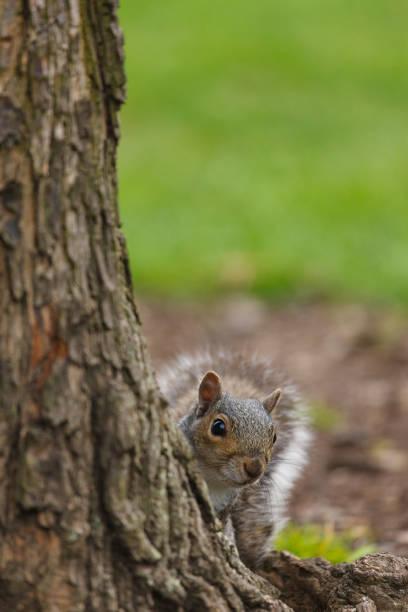 Eastern Gray Squirrel:スマホ壁紙(壁紙.com)