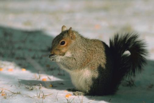 Gray Squirrel「Eastern gray squirrel」:スマホ壁紙(9)