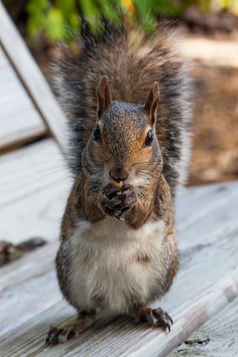 リス「Eastern Gray Squirrel Eating a Peanut」:スマホ壁紙(17)