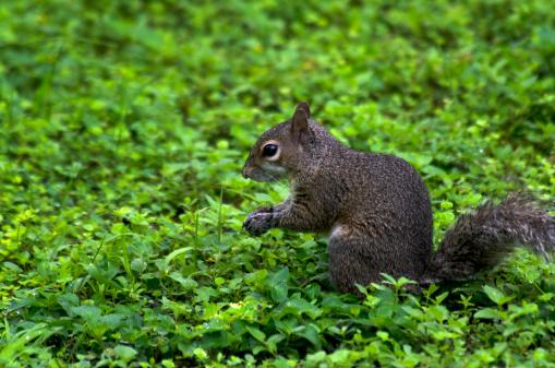 Gray Squirrel「Eastern gray squirrel,sitting,greenery」:スマホ壁紙(19)