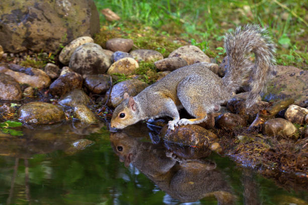 Eastern Gray Squirrel Drinking:スマホ壁紙(壁紙.com)