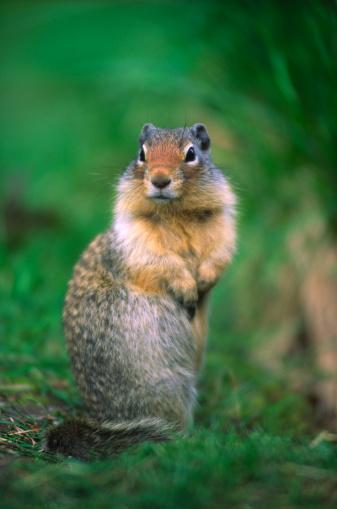 Gray Squirrel「Eastern gray squirrel (Sciurus carolinensis) in grass, close-up」:スマホ壁紙(9)