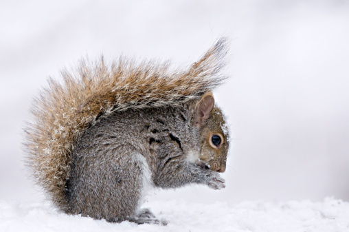 Squirrel「Eastern Gray Squirrel (Sciurus carolinensis) in winter snow with protective posture of tail Michigan, USA」:スマホ壁紙(5)