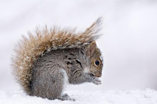 リス「Eastern Gray Squirrel (Sciurus carolinensis) in winter snow with protective posture of tail Michigan, USA」:スマホ壁紙(11)