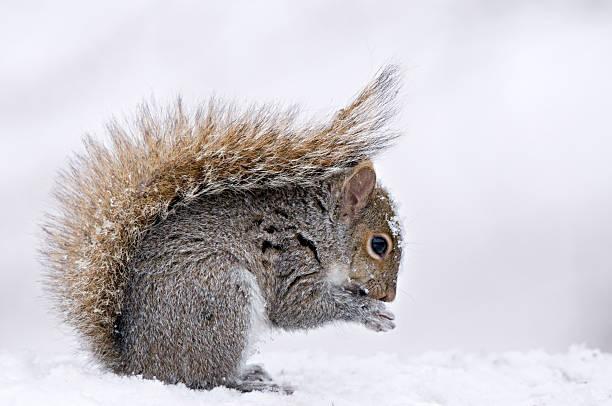 Eastern Gray Squirrel (Sciurus carolinensis) in winter snow with protective posture of tail Michigan, USA:スマホ壁紙(壁紙.com)