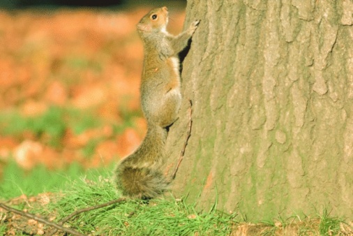 Gray Squirrel「Eastern gray squirrel climbing tree」:スマホ壁紙(11)