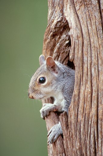 Gray Squirrel「Eastern Gray Squirrel in Tree Hole」:スマホ壁紙(1)