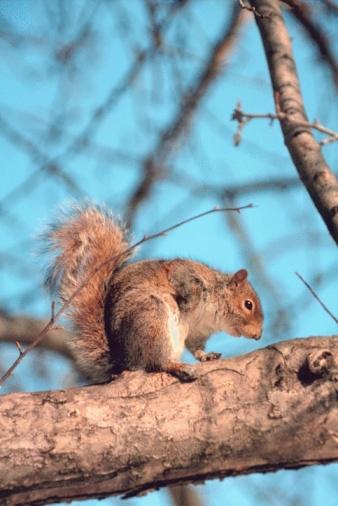 Gray Squirrel「Eastern gray squirrel in tree」:スマホ壁紙(6)