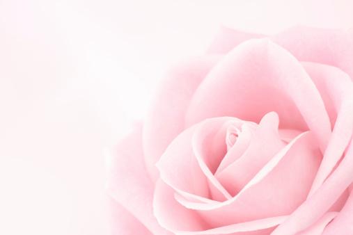 バレンタイン「繊細なピンクのバラ」:スマホ壁紙(1)