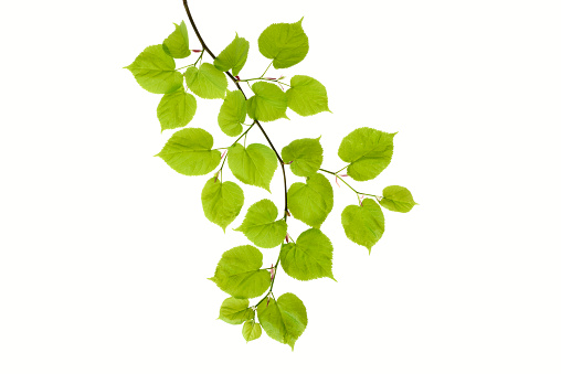 Deciduous tree「Lime tree, Tilia, leaves against white background」:スマホ壁紙(7)