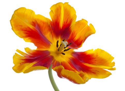 チューリップ「Parrot Tulip」:スマホ壁紙(5)