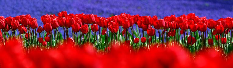 Keukenhof Gardens「Line of Red Tulips」:スマホ壁紙(19)