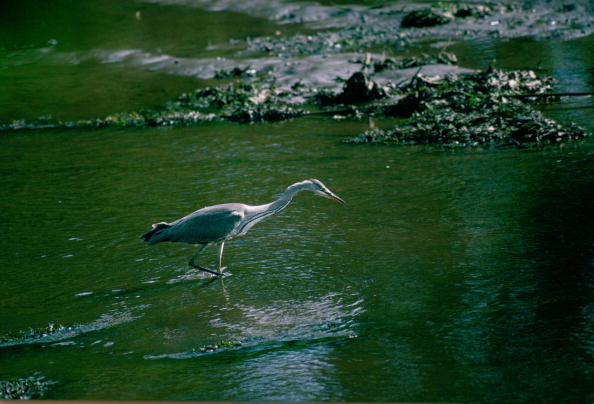 Animals Hunting「Heron Fishing in Helford Estuary, Cornwall」:写真・画像(17)[壁紙.com]