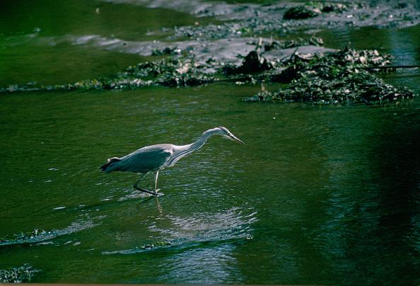 Animals Hunting「Heron Fishing in Helford Estuary, Cornwall」:写真・画像(12)[壁紙.com]