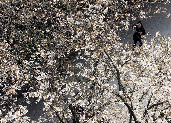 Cherry「Cherry Blossoms At Wuhan University」:写真・画像(13)[壁紙.com]
