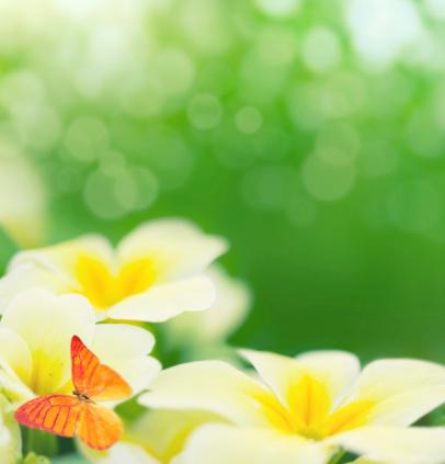 キク科「Primroses 咲きほこる」:スマホ壁紙(17)