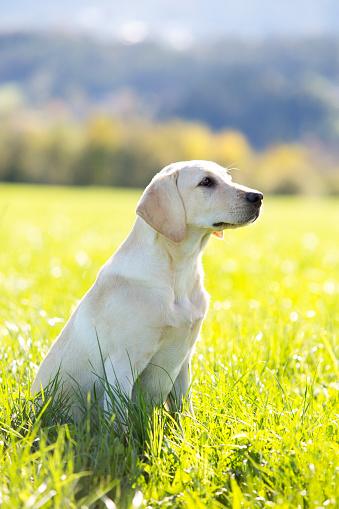Salzkammergut「Austria, Mondsee, Labrador Retriever sitting on a meadow」:スマホ壁紙(6)