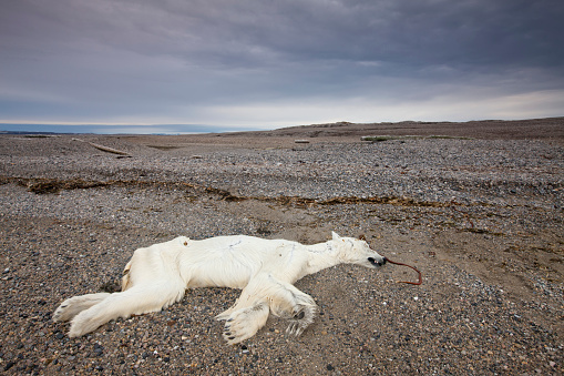 自生「Dead Polar Bear, Svalbard, Norway」:スマホ壁紙(1)