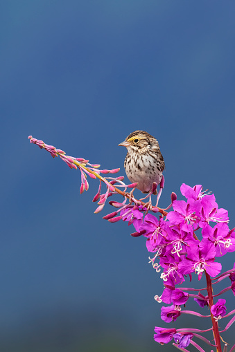 flower「A sparrow perches on the top of Fireweed (Chamerion angustifolium), Mendenhall Wetlands」:スマホ壁紙(7)