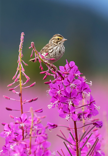flower「A sparrow perches on the top of Fireweed (Chamerion angustifolium), Mendenhall Wetlands」:スマホ壁紙(8)