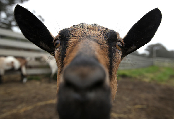 Goat「Dairy Goat Herds Surge Over The Last Decade In The U.S.」:写真・画像(13)[壁紙.com]