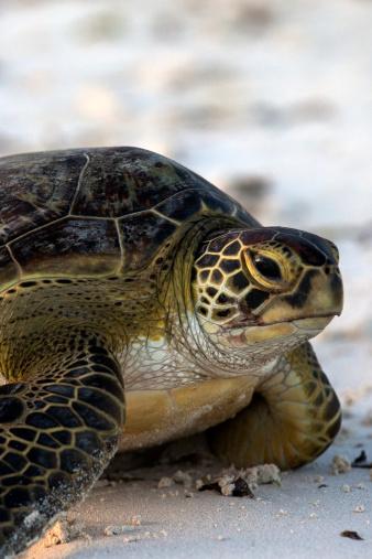 Green Turtle「The green turtle」:スマホ壁紙(5)