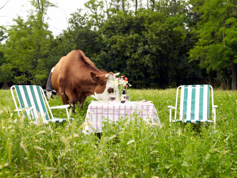 Picnic「Picnic table in middle of field of cows」:スマホ壁紙(4)