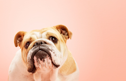 Pink Background「Dog English Bull Dogs Portrait」:スマホ壁紙(7)