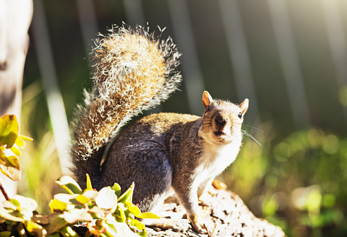 Gray Squirrel「Gray squirrel looking inquisitively at the camera」:スマホ壁紙(16)