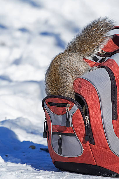 Gray squirrel searching in backpack:スマホ壁紙(壁紙.com)