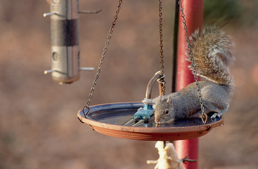 Gray Squirrel「Gray Squirrel Drinks From Bird Bath」:スマホ壁紙(16)
