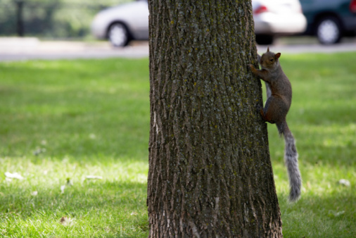 Gray Squirrel「Gray squirrel climbing tree in park」:スマホ壁紙(19)