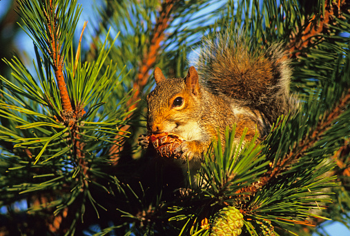 Gray Squirrel「Gray squirrel eating pine cone」:スマホ壁紙(12)