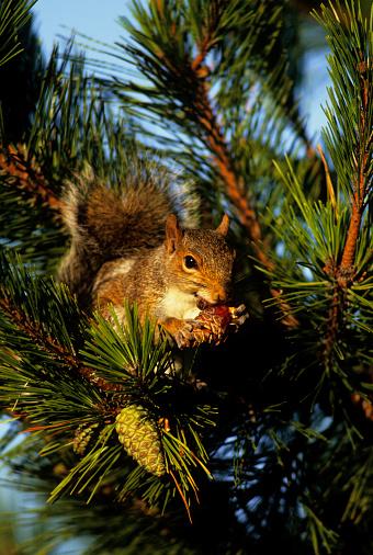 Gray Squirrel「Gray squirrel eating pine cone」:スマホ壁紙(13)