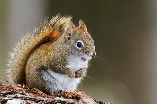 リス「Gray squirrel」:スマホ壁紙(0)