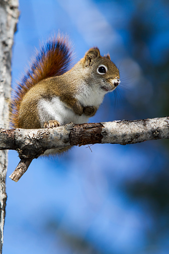 Gray Squirrel「Gray squirrel on branch」:スマホ壁紙(16)