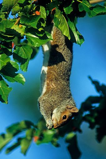 Gray Squirrel「Gray squirrel」:スマホ壁紙(11)