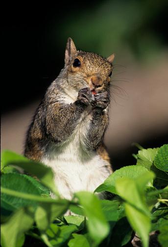 Gray Squirrel「Gray squirrel」:スマホ壁紙(15)
