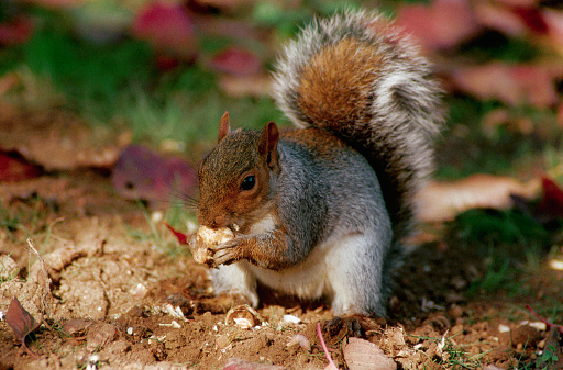 Gray Squirrel「Gray Squirrel Feeding」:スマホ壁紙(6)