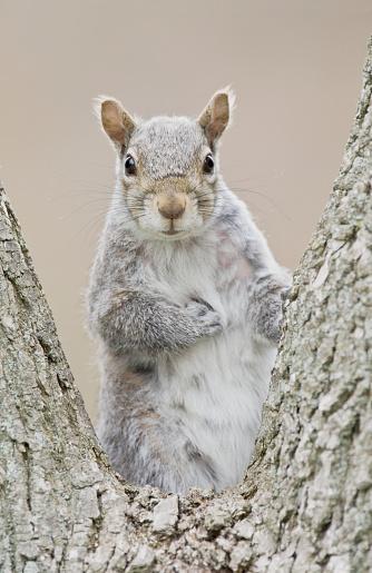 Squirrel「Gray squirrel」:スマホ壁紙(4)