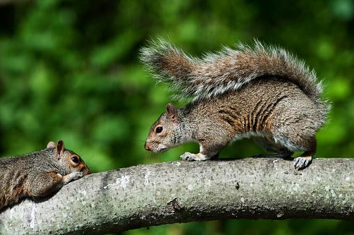 Gray Squirrel「gray squirrel interaction」:スマホ壁紙(1)