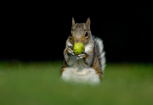 Gray Squirrel「Gray squirrel (Sciurus carolinensis) in grass eating fruit, differential focus」:スマホ壁紙(6)