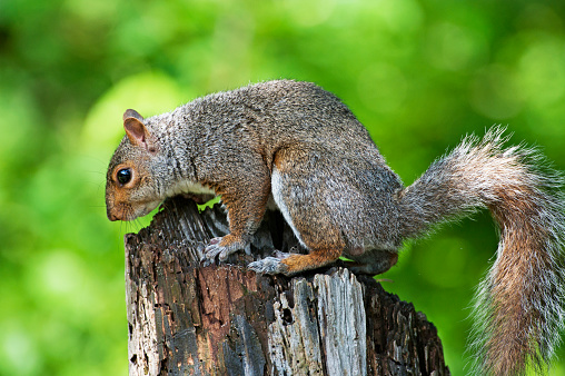 Gray Squirrel「gray squirrel close up」:スマホ壁紙(19)