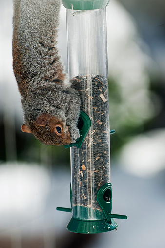 Gray Squirrel「Gray squirrel climbing on bird feeder」:スマホ壁紙(14)