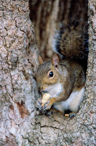 Gray Squirrel「Gray Squirrel Eating a Peanut」:スマホ壁紙(7)