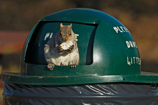 Gray Squirrel「Gray squirrel eating food from trash can」:スマホ壁紙(12)